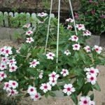 Dừa cạn hoa trắng