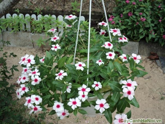 hoa dừa cạn 2