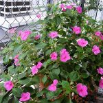 hoa ngọc thảo 4
