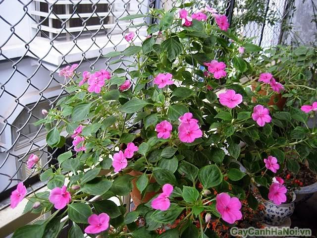 hoa ngọc thảo 5