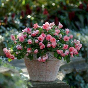 hoa ngọc thảo 3