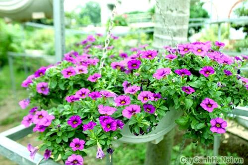 hoa triệu chuông 3