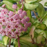 cây lan cẩm cù 4