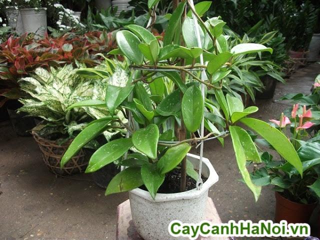 cây lan cẩm cù 3