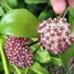 cây lan cẩm cù 2