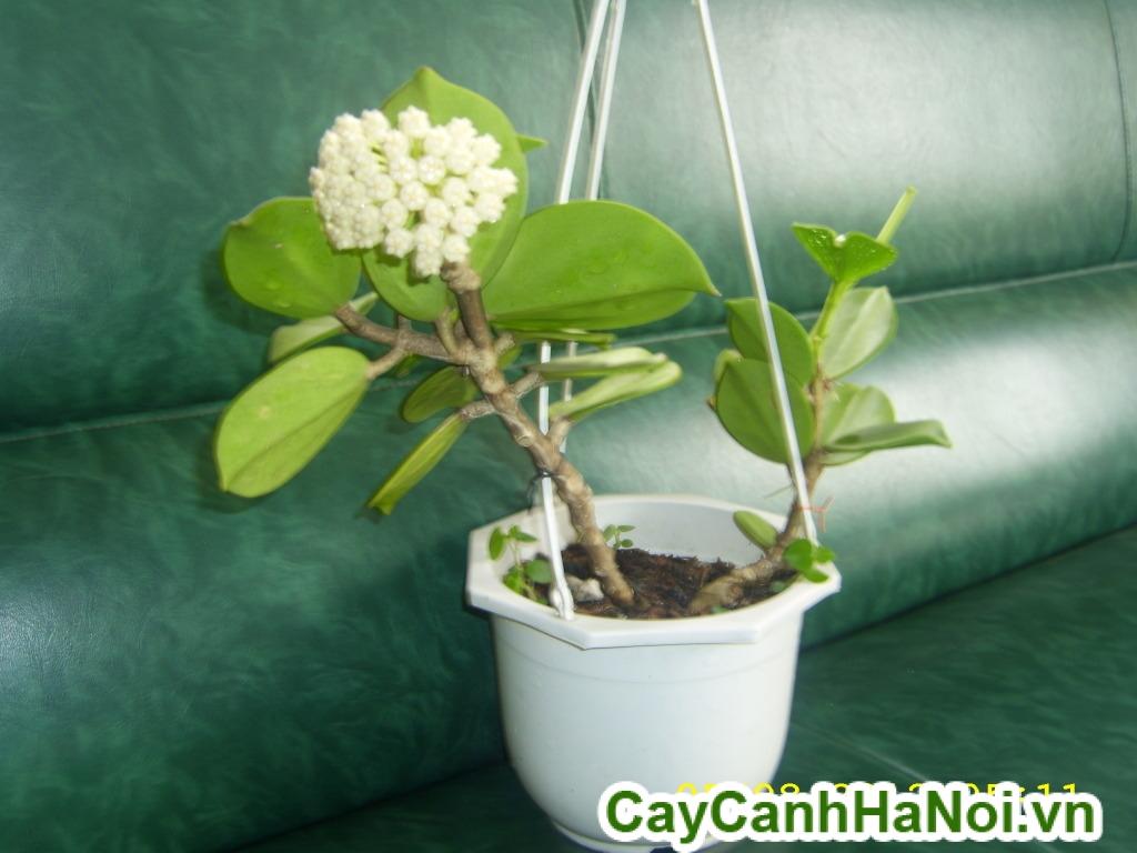 cây lan cẩm cù 5