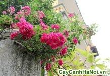 10 loài hoa trông ban công
