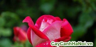 10 loài hoa có hương thơm