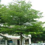 cây bàng singapore trang trí ban công