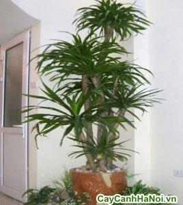 cây cảnh nội thất