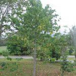cây che bóng mát