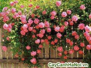 cây hồng leo