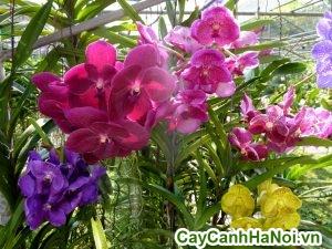 hoa lan trang trí