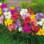 hoa lan nam phi