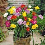 hoa lan nam phi trồng từ củ