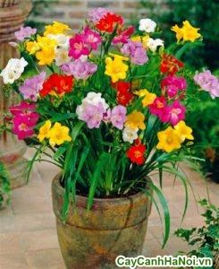 cách trồng hoa lan nam phi từ củ