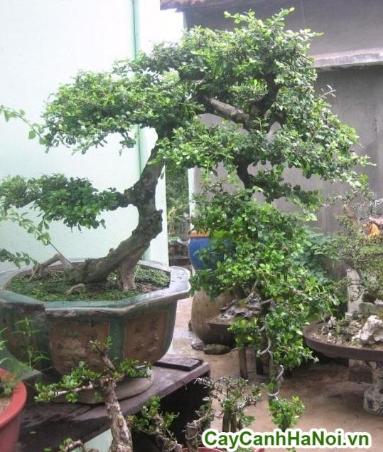cây cần thăng bonsai