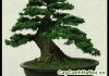 cần thăng bonsai
