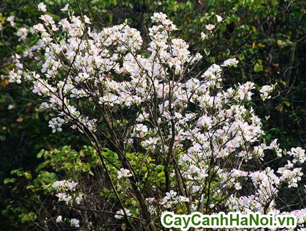 cây ban trắng