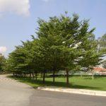 cây bàng đài loan trang trí ven đường làm cây bóng mát