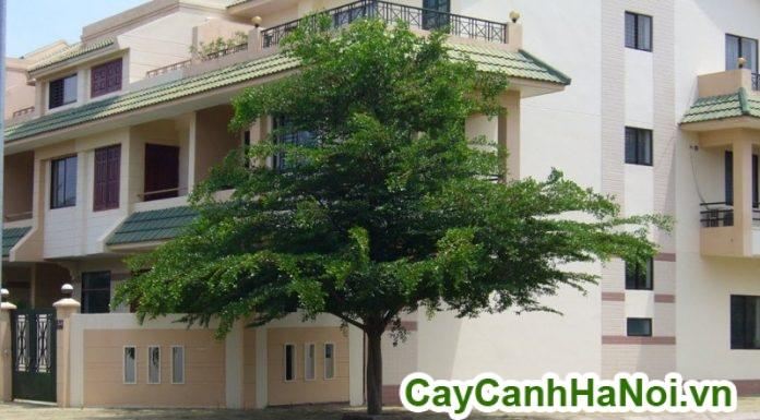 giá bán cây bàng đài loan