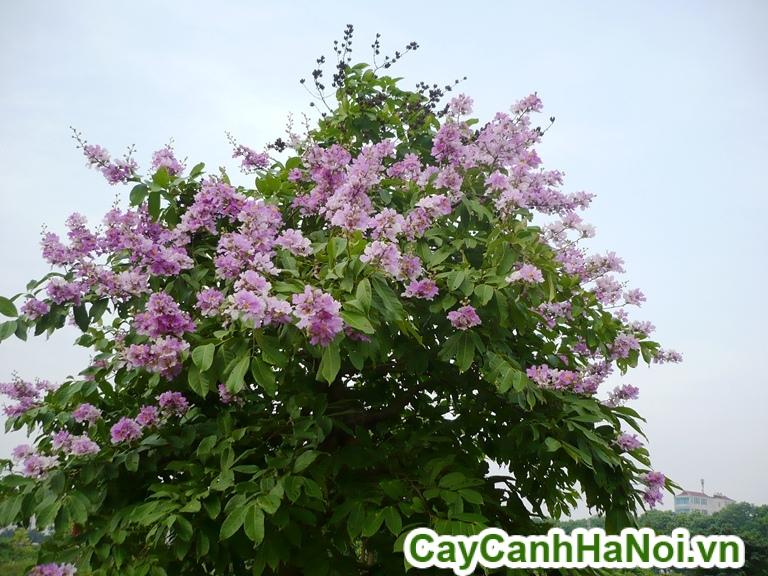 cách chăm sóc cây bằng lăng
