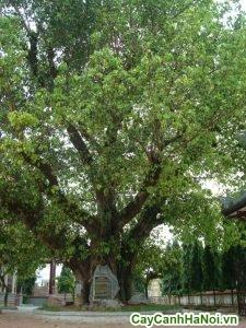 cây bồ đề
