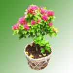 cây bống giấy bonsai