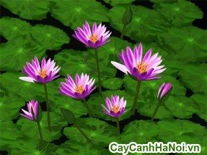 cây hoa sen trang trí dưới nước
