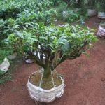 cây chè bonsai