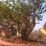 cây chè