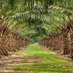 cách chăm sóc cây cọ dầu