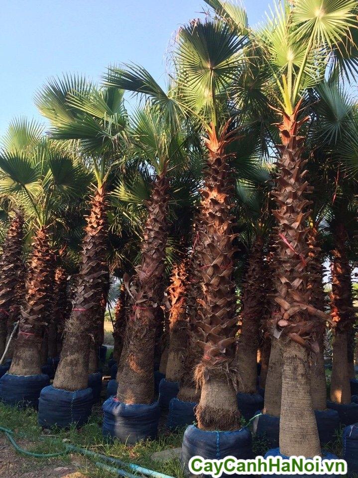 cây cọ mỹ