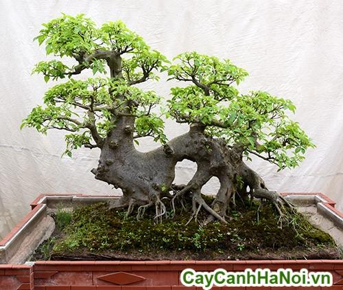 cây da bonsai