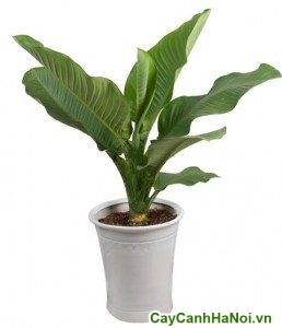 cách trồng cây đại phú