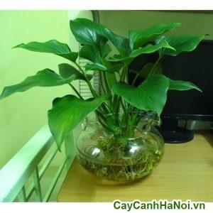 cây trầu bà đế vương xanh trồng trong nước
