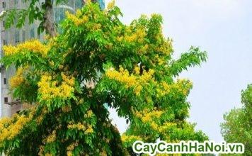 kỹ thuật trồng cây giáng hương