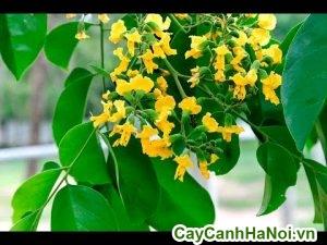 cây giáng hương là cây cảnh sân vườn