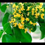 cách trồng cầy giáng hương