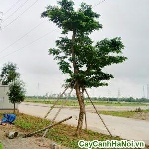 cây giáng hương cây cảnh phong thủy