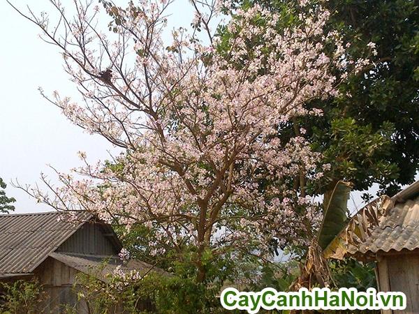 cây hoa ban