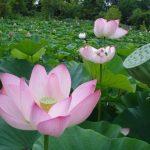 cây hoa sen trang trí