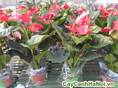 cách chăm sốc cây hồng môn