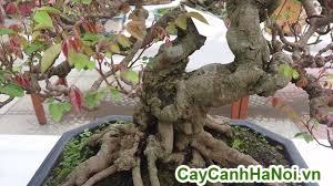 cây khế