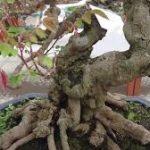 cây khế bonsai trang trí sân vườn