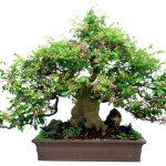cây khế bonsai trang trí