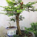 cây kim quýt bonsai