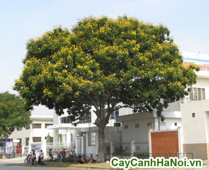 cây lim xẹt trang trí sân vườn