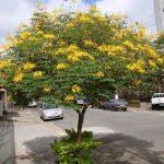 cây lim xẹt trang trí đường phố và là cây bóng mát