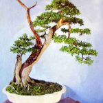 linh sam cao 50cm trang trí sân vườn